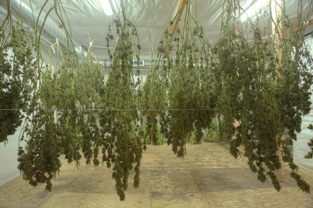 Comment tailler les fleurs de cannabis