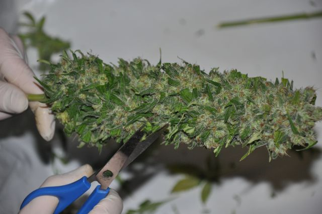 Wet trimming is considered easier and quicker, although it can negatively affect taste and aroma