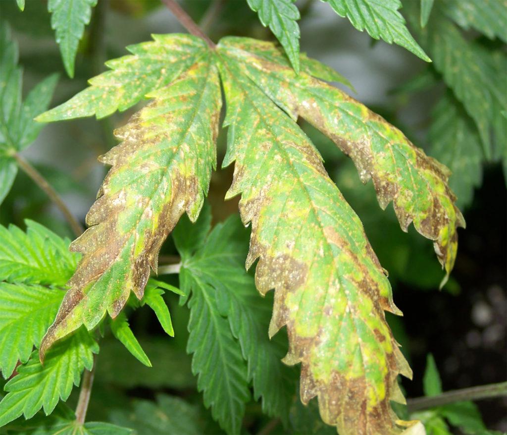 Tutorial: ¿Qué pasa con mi planta de cannabis?
