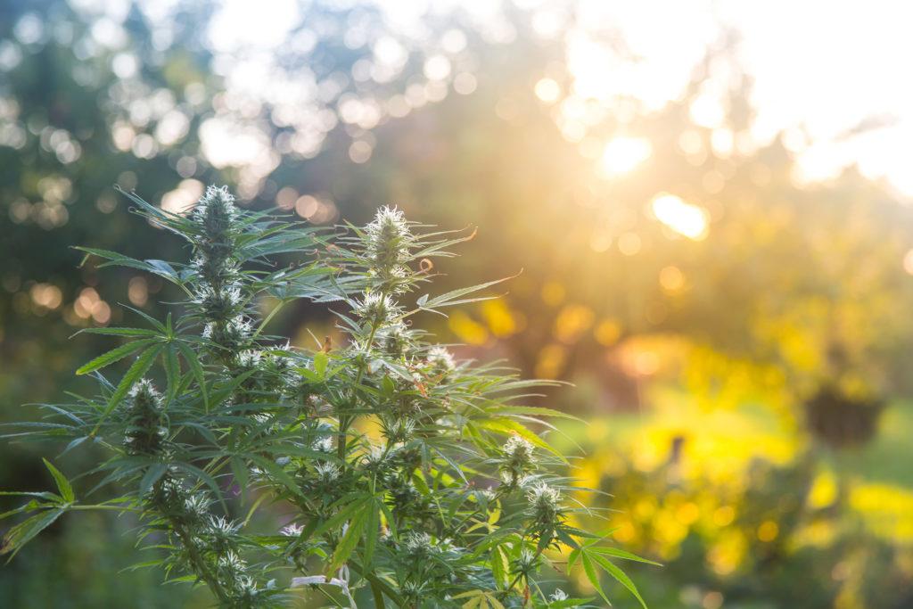 5 Pflanzen für den persönlichen Gebrauch werden in den Niederlanden geduldet