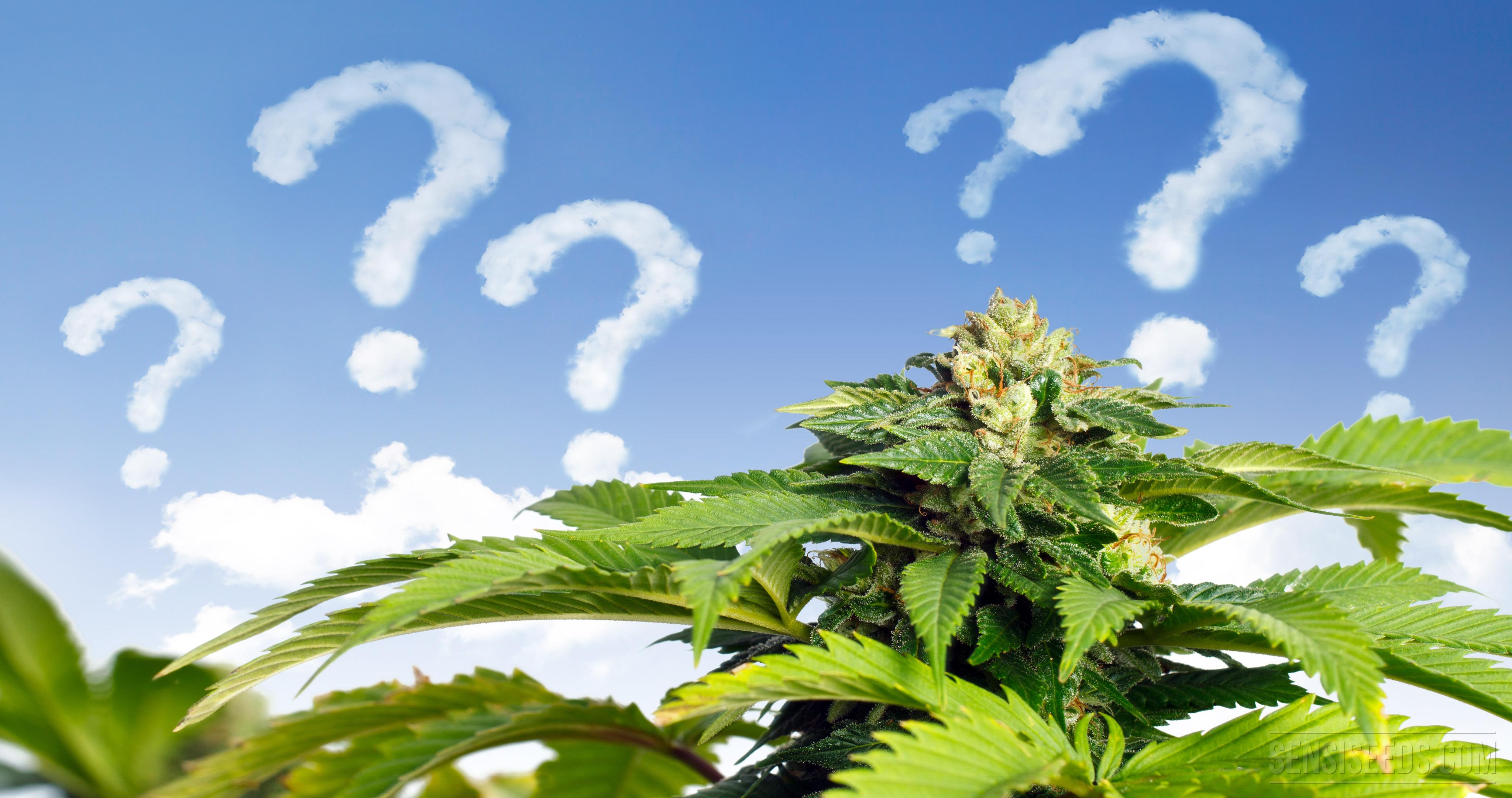 Comment bien choisir une vari t de cannabis cultiver en for Cultiver cannabis exterieur