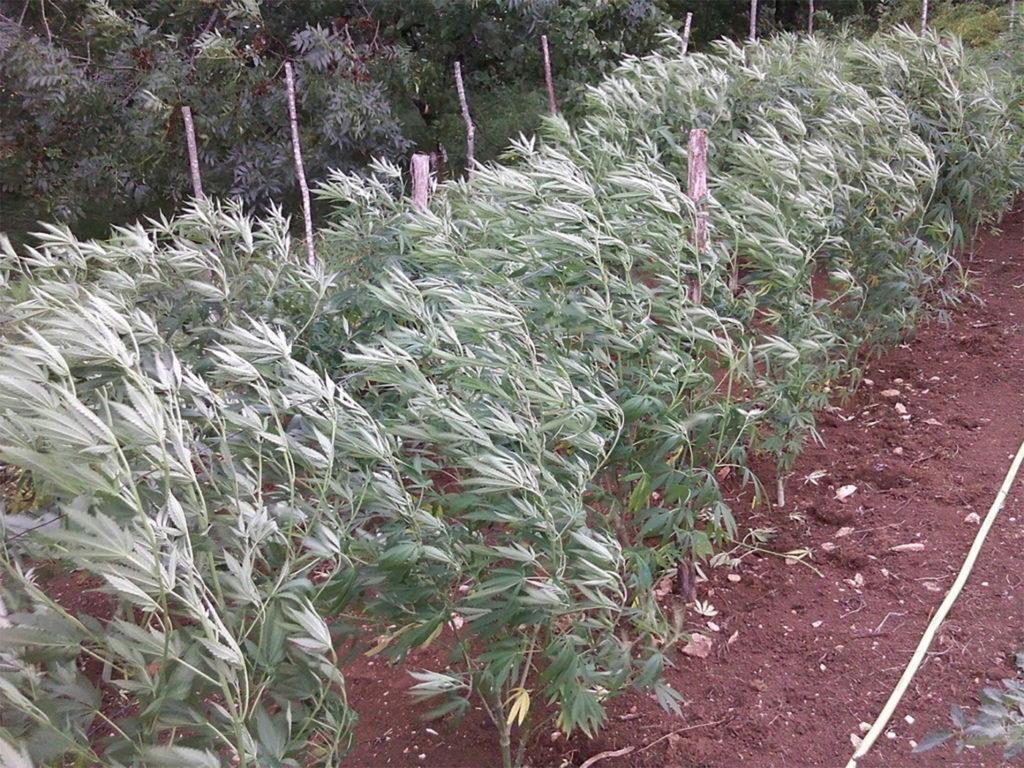 Culture cannabis en extérieur: Photo d'une rangée de plantes de cannabis plantées en pleine terre sur une ferme. Un vent fort fouette les plantes.