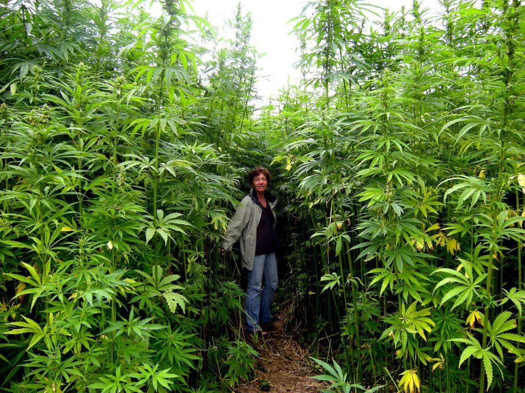 Culture cannabis en extérieur: Photo d'une femme portant un jeans bleu et un blouson gris. Elle se tient au milieu d'un champ de plantes de cannabis qui s'élèvent au-dessus de sa tête.
