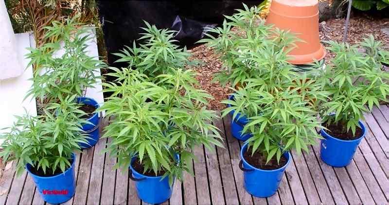 Cultivar al aire libreen macetasmantieneun crecimiento controladoy significa quelas plantasse pueden transportar.