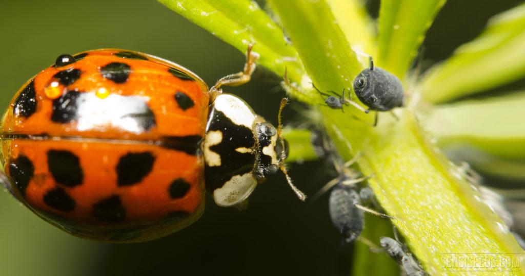 Las mariquitas son insectos beneficiosos que se alimentan de pulgones y arañas rojas