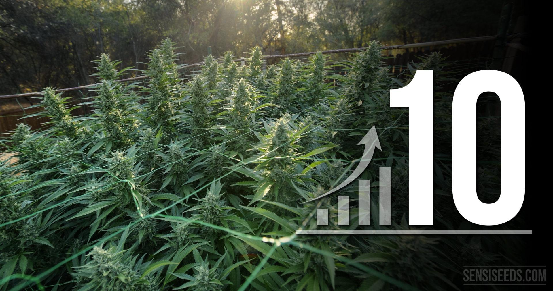 10 astuces pour optimiser votre espace de culture de cannabis - Chambre de culture cannabis interieur ...