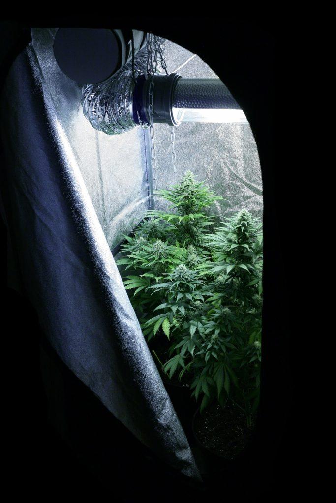 In Innenräumen kann die Blüte durch Regulierung der Lichtstunden ausgelöst werden.