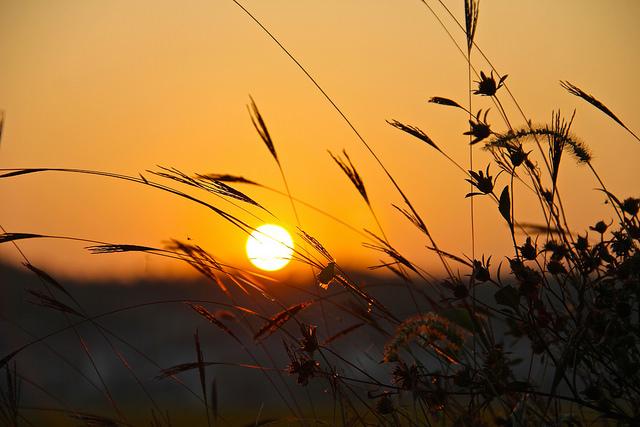 En los climas fríos, las temperaturas otoñales pueden bajar demasiado para que la floración se complete sin intervención (© james j8246)