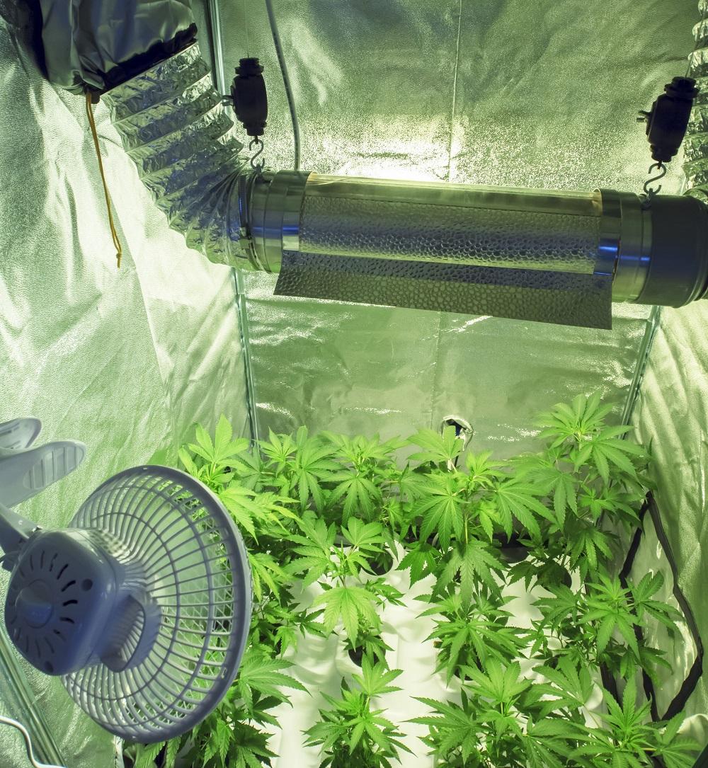 Comment faire fleurir un plant de cannabis sensi seeds - Comment passer en floraison ...