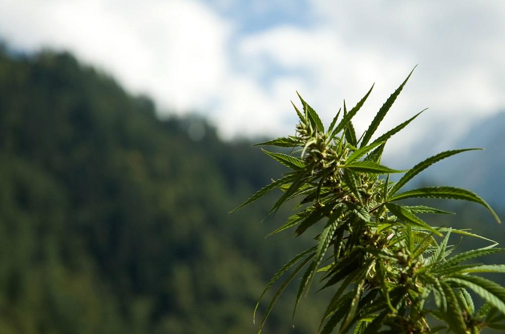 Le cycle des saisons régule normalement la floraison d'une plante de cannabis.