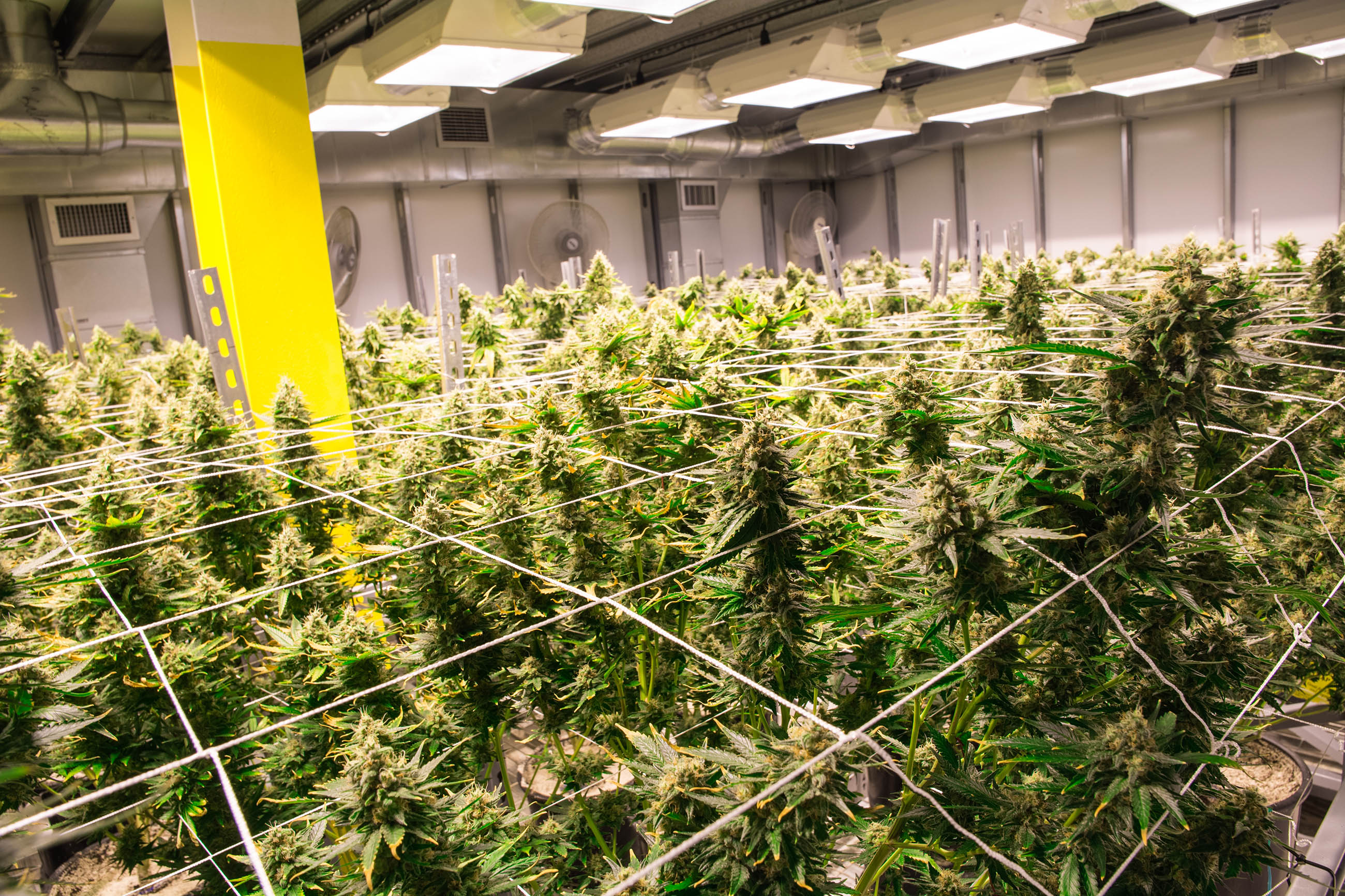 Top 10 Tips To Maximize Your Cannabis Grow Space