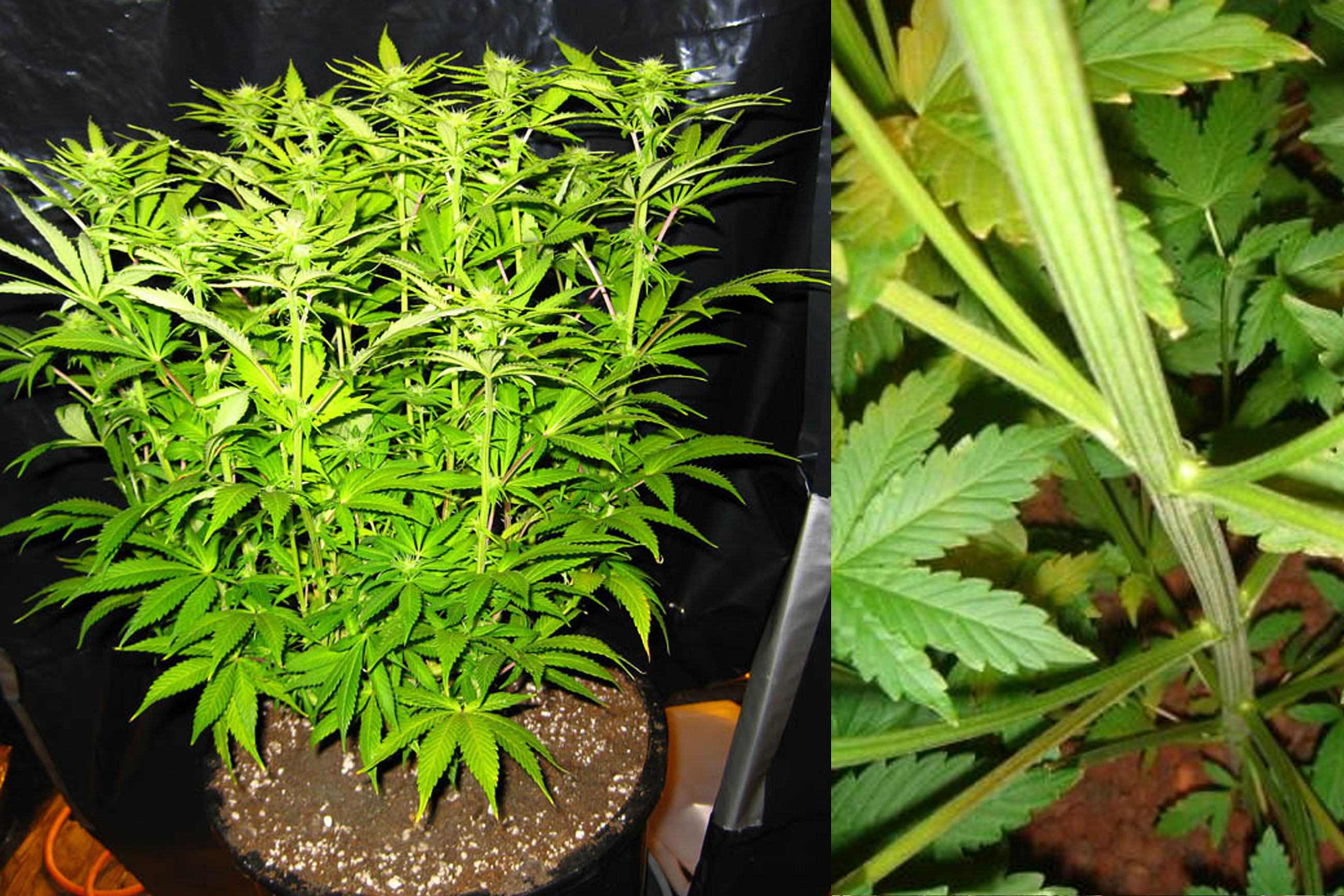 https://sensiseeds.com/blog/wp-content/uploads/2015/04/Top-10-tips-to-maximize-your-cannabis-grow-space-stretching-3.jpg