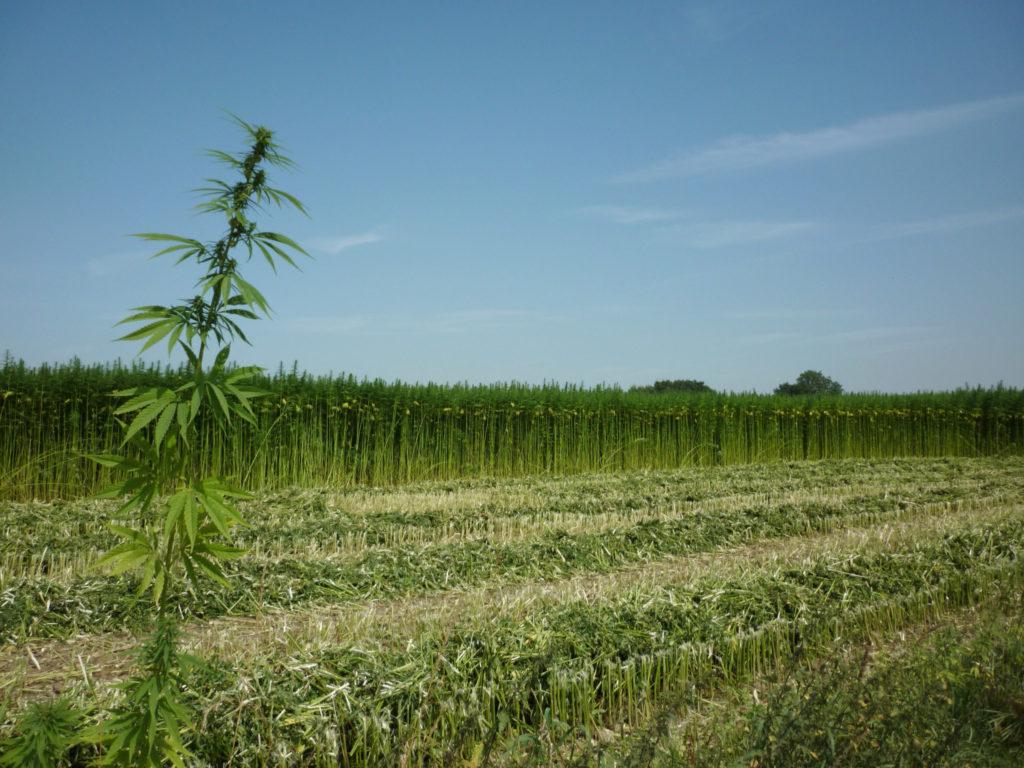 Photo d'un vaste champ de chanvre d'une ferme sur fond de ciel bleu. Certaines plantes ont été récoltées. En avant-plan se démarque une plante de chanvre particulièrement grande aux feuilles distinctes.