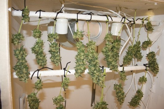 Une fois les branches coupées, les grandes feuilles externes doivent être retirées avant la suspension