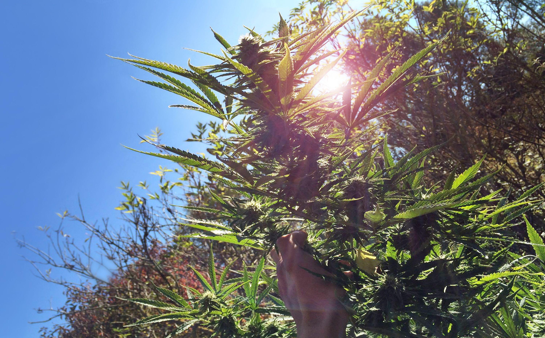 Blog - Comment amliorer ma rcolte de cannabis ? Dutch