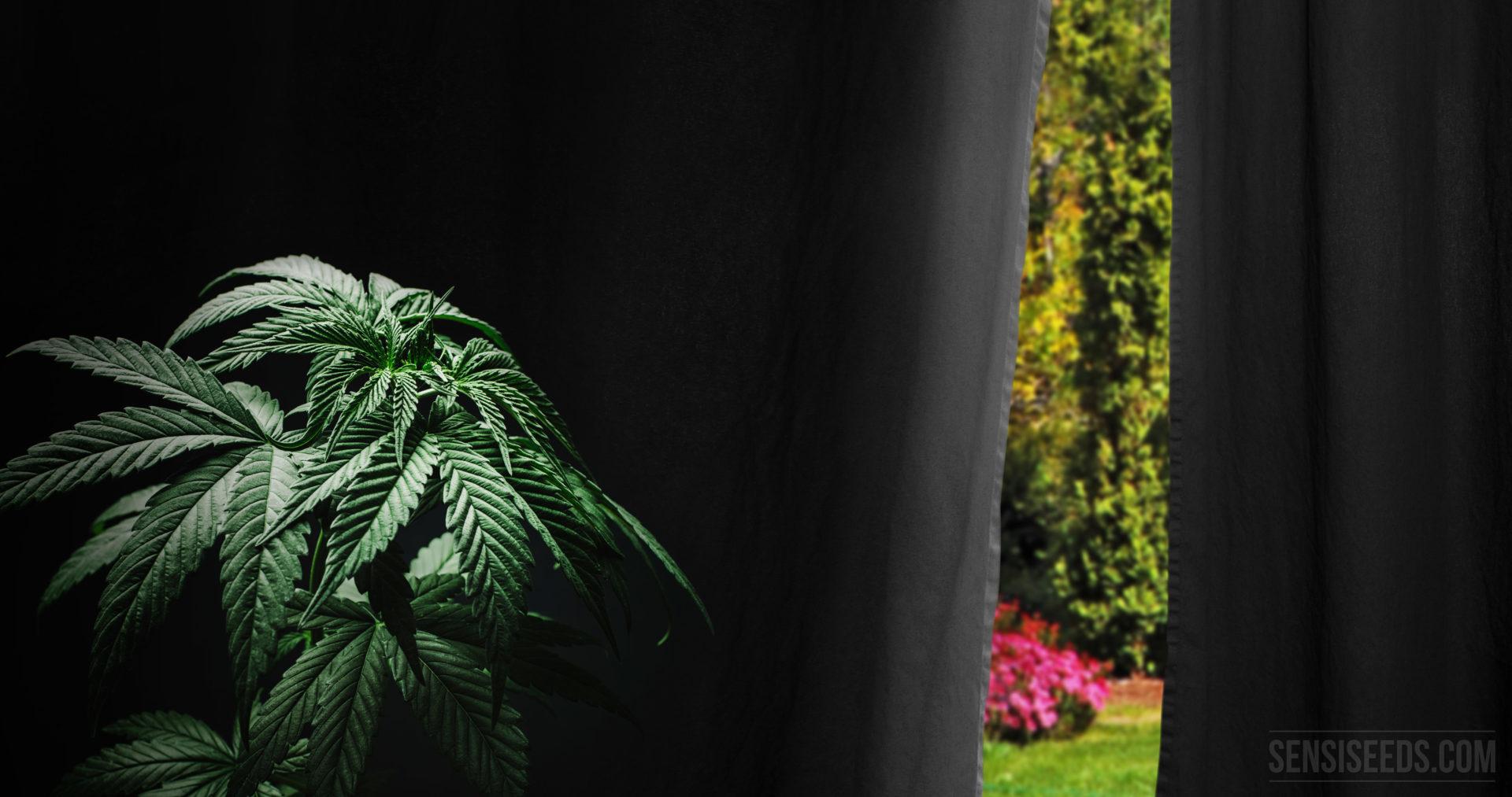 Comment forcer la floraison du cannabis cultiv en for Culture du cannabis en exterieur