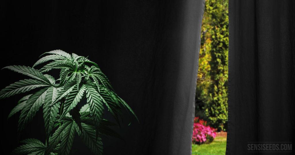 Wie man die Blüte von Freilandcannabis forciert