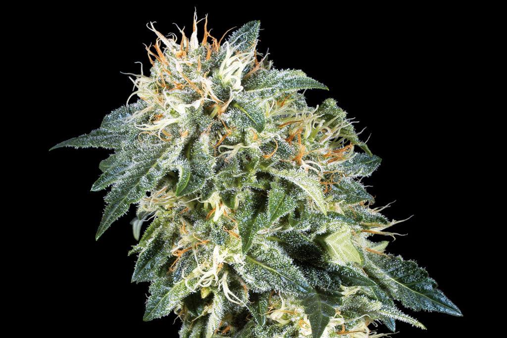 Sensi Seeds 'Northern Lights Cannabis Strain