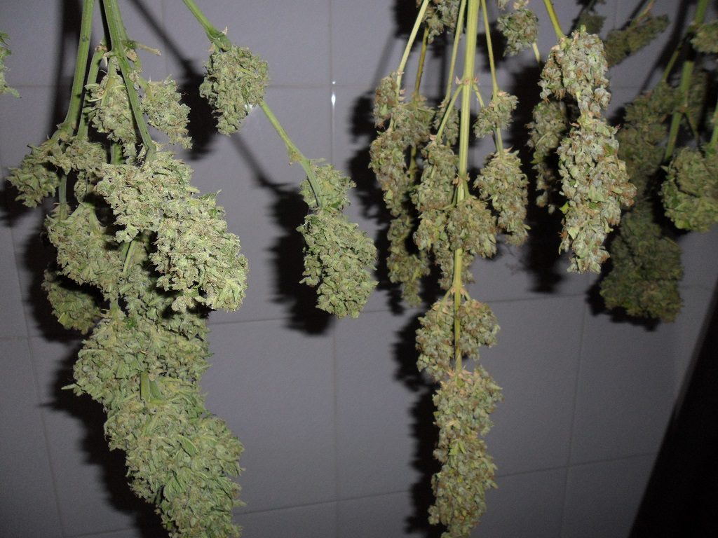 In order to determine if the confiscated plants are for personal consumption, they have to be weighed after they have been dried, and not before, which is what the Civil Guard did