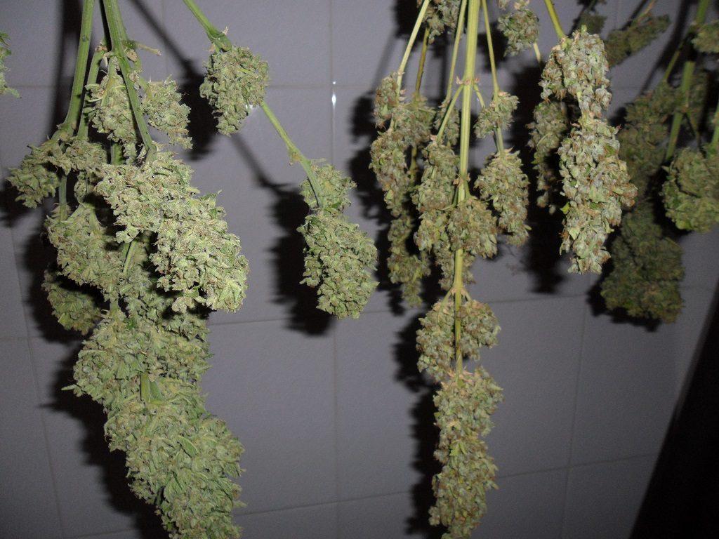 Para determinar si las plantas incautadas son para autoconsumo, hay que pesarlas una vez se han secado, no antes, como la Guardia Civil