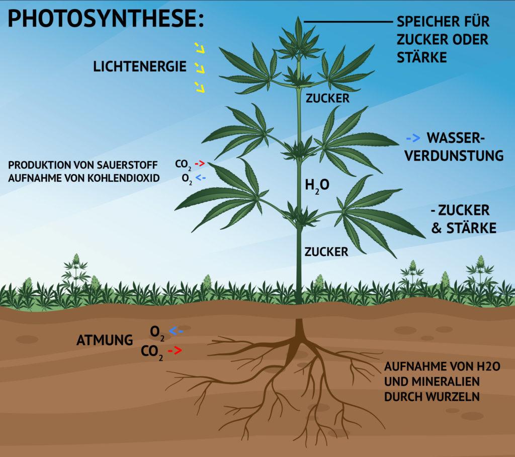 Illustration, die das Wachstum einer Cannabispflanze mittels der Photosynthese darstellt, ferner ihren Zusammenhang mit der Lichtenergie, der Produktion von Sauerstoff, der Aufnahme von Kohlendioxid, der Speicherung von Zucker oder Stärke, der Wasserverdunstung und der Aufnahme von Sauerstoff und Mineralstoffen über die Wurzeln.