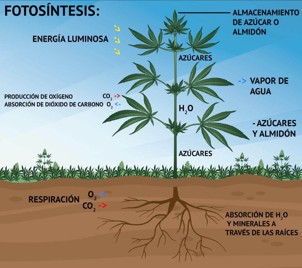 Imagen que ilustra el crecimiento de una planta de cannabis durante la fotosíntesis y su relación con la energía lumínica, la producción de oxígeno y absorción de dióxido de carbono, el almacenamiento de azúcares o almidón, el vapor de agua y la absorción de oxígeno y minerales por la raíz.