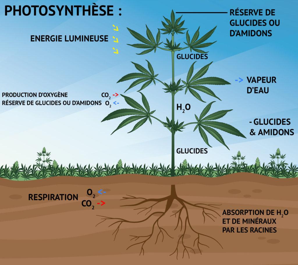 Illustration montrant la croissance d'une plante de cannabis tout au long de la photosynthèse, ainsi que sa corrélation avec l'énergie lumineuse, la production d'oxygène et l'absorption du dioxyde de carbone, le stockage de sucres ou d'amidon, la vapeur d'eau et l'absorption de l'oxygène et des minéraux par les racines.
