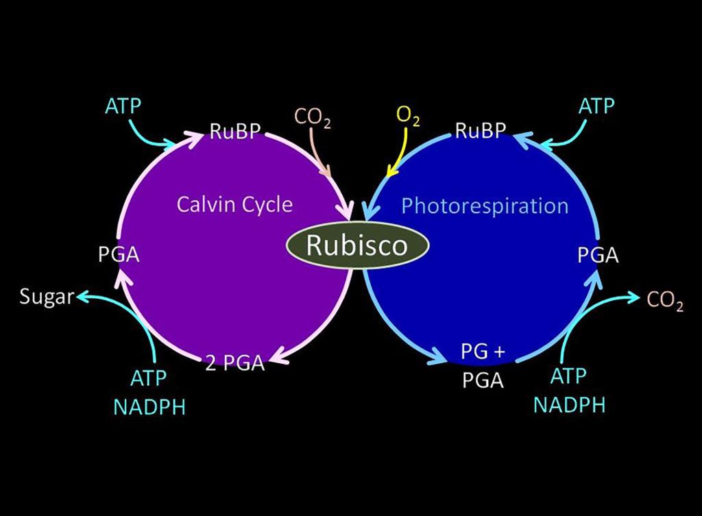 Diagramm, das die Photosynthesevorgänge in Relation zum Calvin-Zyklus und zur Photorespiration darstellt.