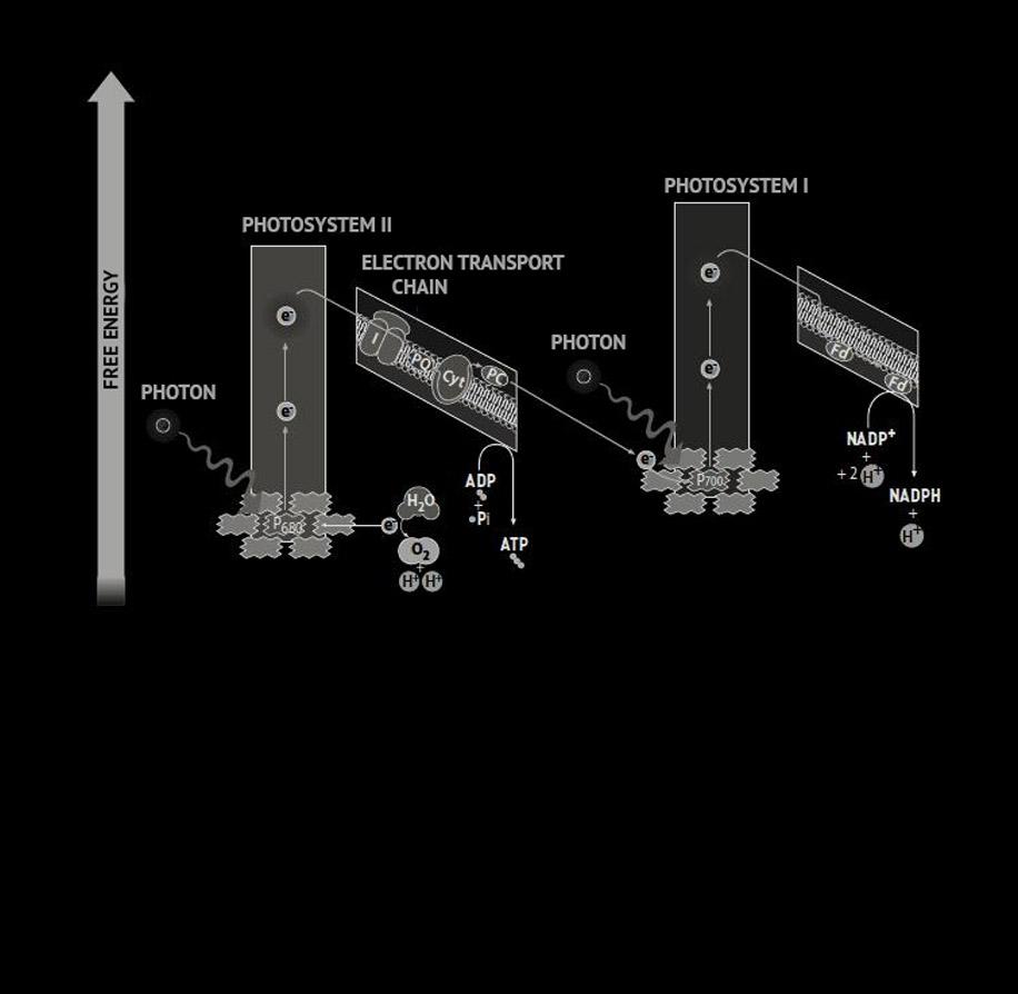 Diagramme représentant la photophosphorylation cyclique. L'électron libéré lors de la formation de l'ATP stimule de nouveau le PSI.