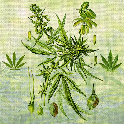 """Naming Cannabis: The """"indica"""" versus """"sativa"""" debate"""