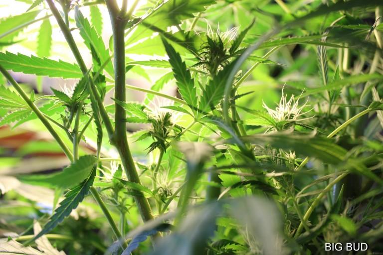 Cannabis strain focus: Big Bud from Sensi Seeds
