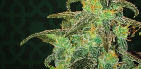 Maple Leaf Indica cannabis plant