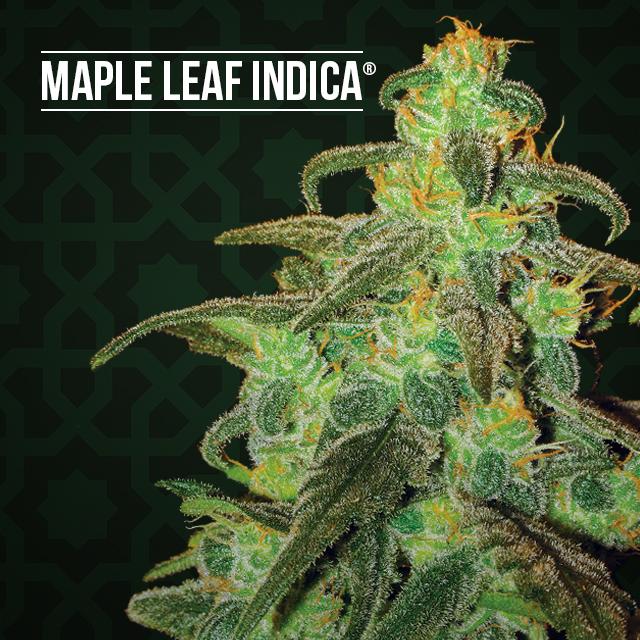 Cannabis strain focus: Maple Leaf Indica from Sensi Seeds