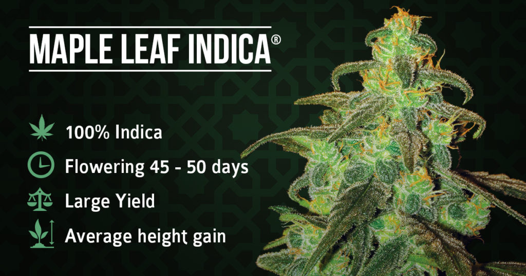 Maple Leaf Indica plant and information sheet
