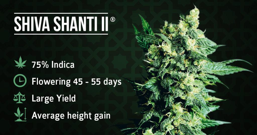 Shiva Shanti II Cannabis-installatie en informatie
