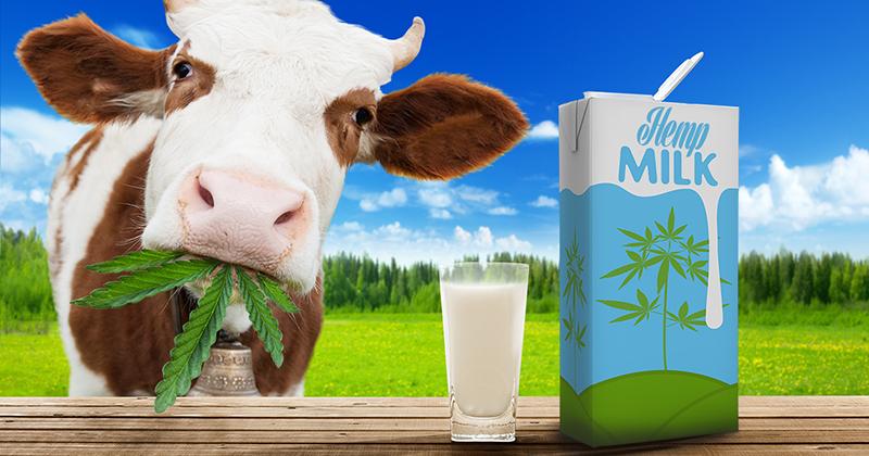 Hemp milk - Sensi Seeds blog
