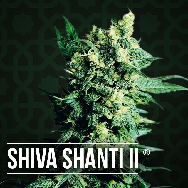 Shiva Shanti II cannabis plant