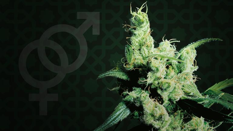 Focus sur une variété de cannabis : Silver Haze de Sensi Seeds