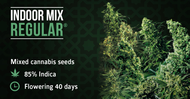 Cannabis Strain Focus SPECIAL: Indoor Mix from Sensi Seeds