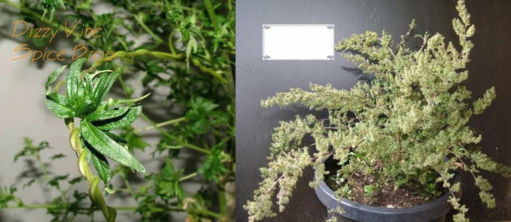Mutaciones del cannabis - Parecido a una vid