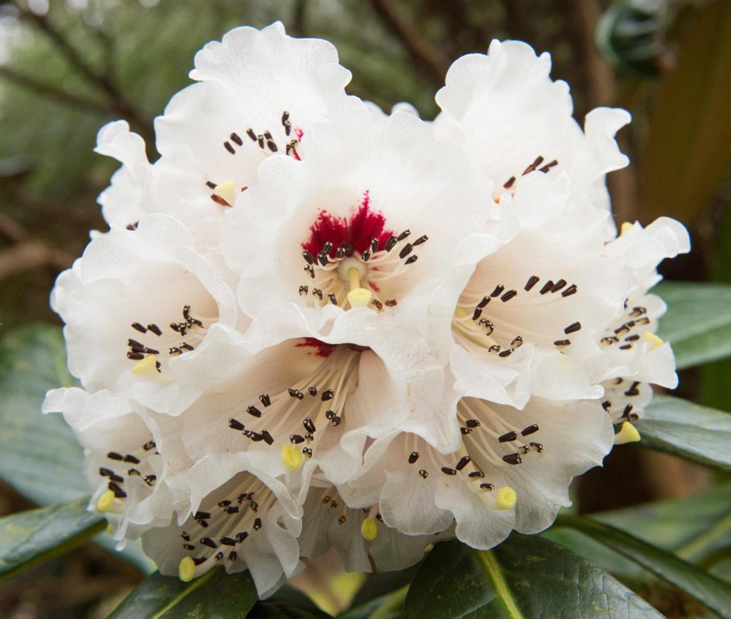 Il a été démontré que le rhododendron chinois contenait des CBC ou des composés similaires