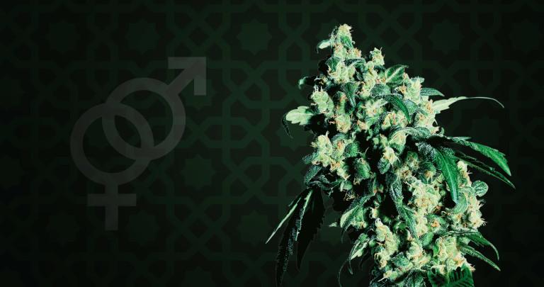 Cannabis Strain Focus: Super Skunk from Sensi Seeds