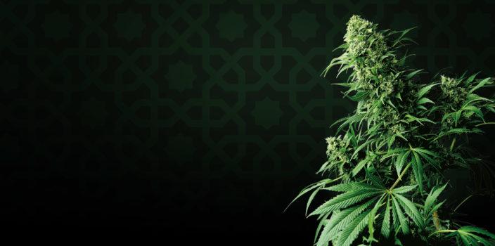 cannabis strain focus shiva shanti