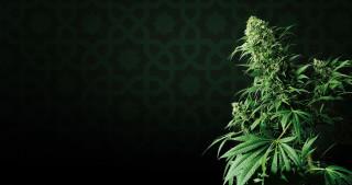 Cannabis Strain Focus : Shiva Shanti from Sensi Seeds