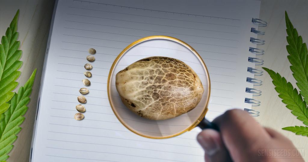 Diez Datos Interesantes sobre las Semillas de Cannabis - Sensi Seeds blog