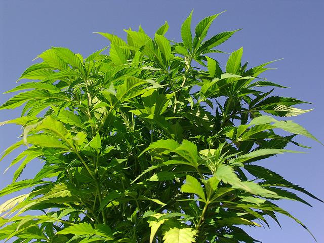 El CBD es un recurso natural barato, abundante y renovable, que se puede cultivar en suelos pobres con poca necesidad de productos químicos (© twicepix)