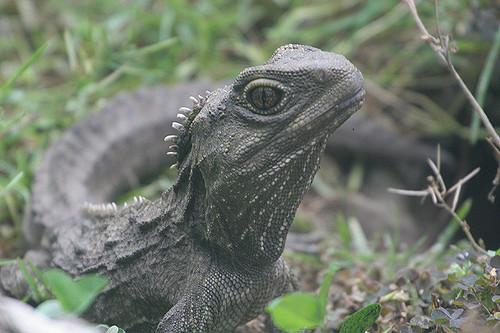El reptil de Nueva Zelanda tuátara conserva un tercer ojo funcional utilizado para regular los ciclos diarios (Out Shooting