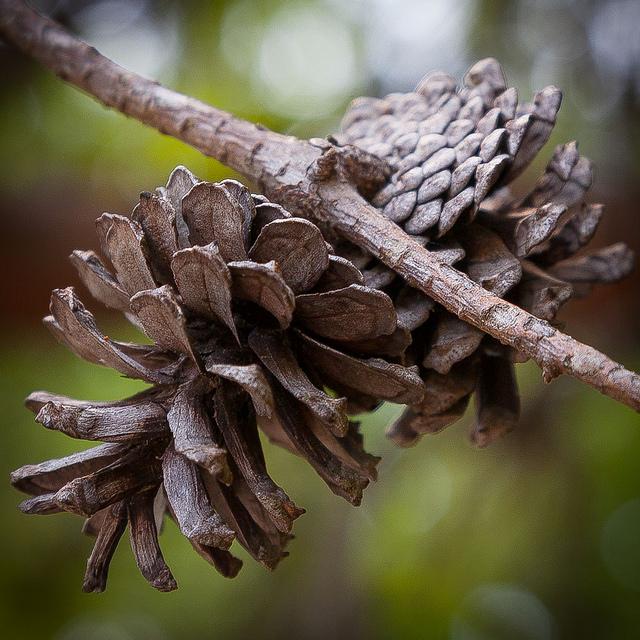 La glándula pineal se llama así por su parecido con un cono de pino (Southernpixel - Alby Headrick)