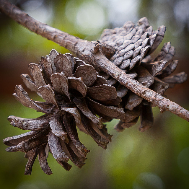 The pineal gland is so called due to its resemblance to a pine cone (Southernpixel - Alby Headrick)