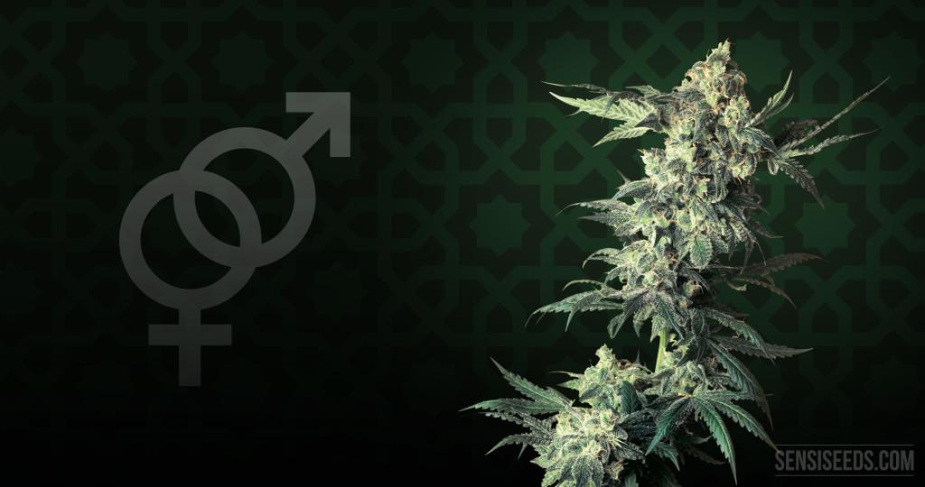 Cannabis Strain Focus - Northern Lights